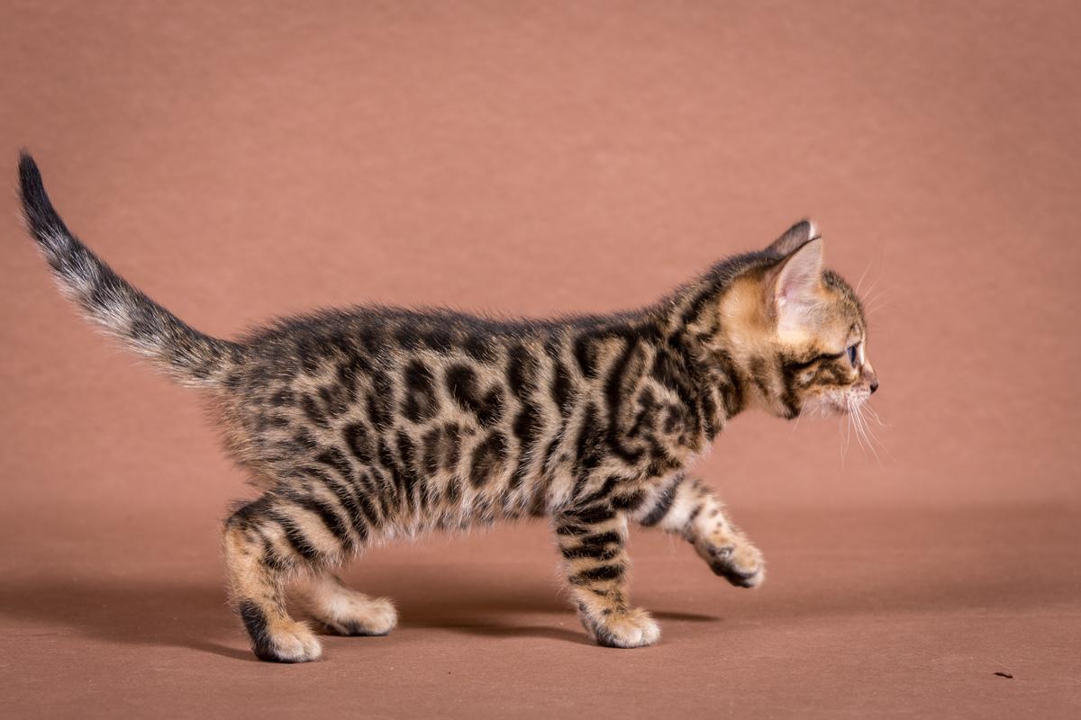 Malu-Bengals-Katzenzucht-Galerie_0015