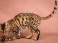 Malu-Bengals-Katzenzucht-Galerie_0009
