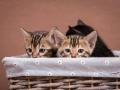 Malu-Bengals-Katzenzucht-Galerie_0013