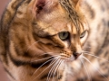 Malu-Bengals-Katzenzucht-Galerie_0020