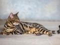 Malu-Bengals-Katzenzucht-Galerie_0021