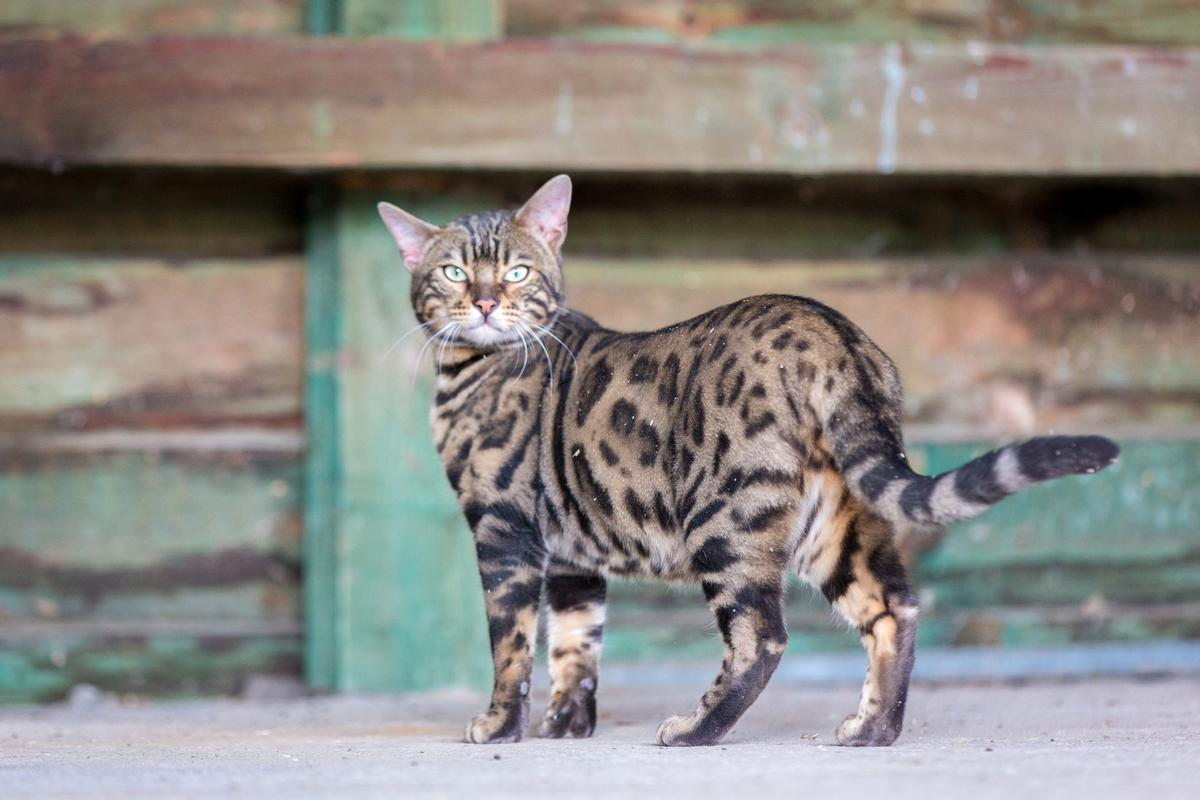Malu-Bengals-Kater-Chester-of-Hand-Sonnenberg_0014