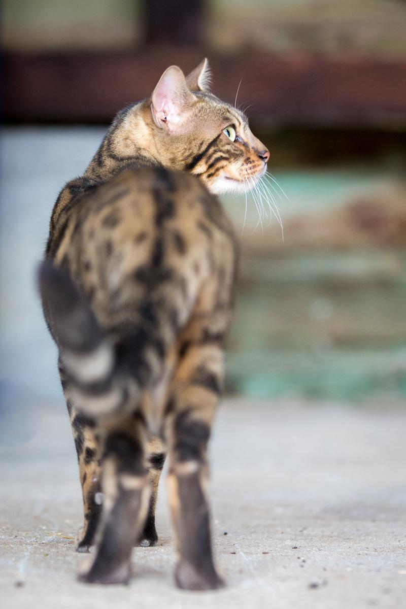 Malu-Bengals-Kater-Chester-of-Hand-Sonnenberg_0022