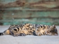 Malu-Bengals-Kater-Chester-of-Hand-Sonnenberg_0008
