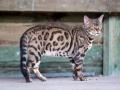 Malu-Bengals-Kater-Chester-of-Hand-Sonnenberg_0015