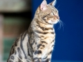 Malu-Bengals-Kater-Chester-of-Hand-Sonnenberg_0018