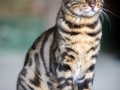 Malu-Bengals-Kater-Chester-of-Hand-Sonnenberg_0020