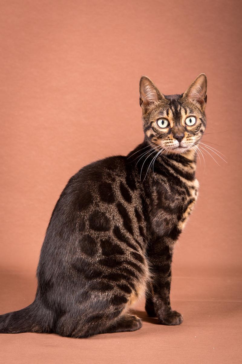 Malu-Bengals-Katze-Chilli-Wunderkittys_0003