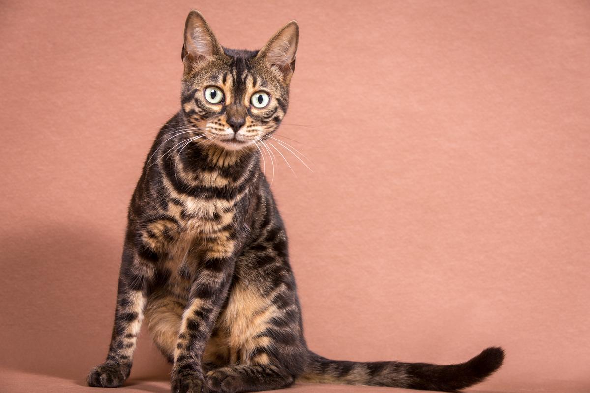 Malu-Bengals-Katze-Chilli-Wunderkittys_0004