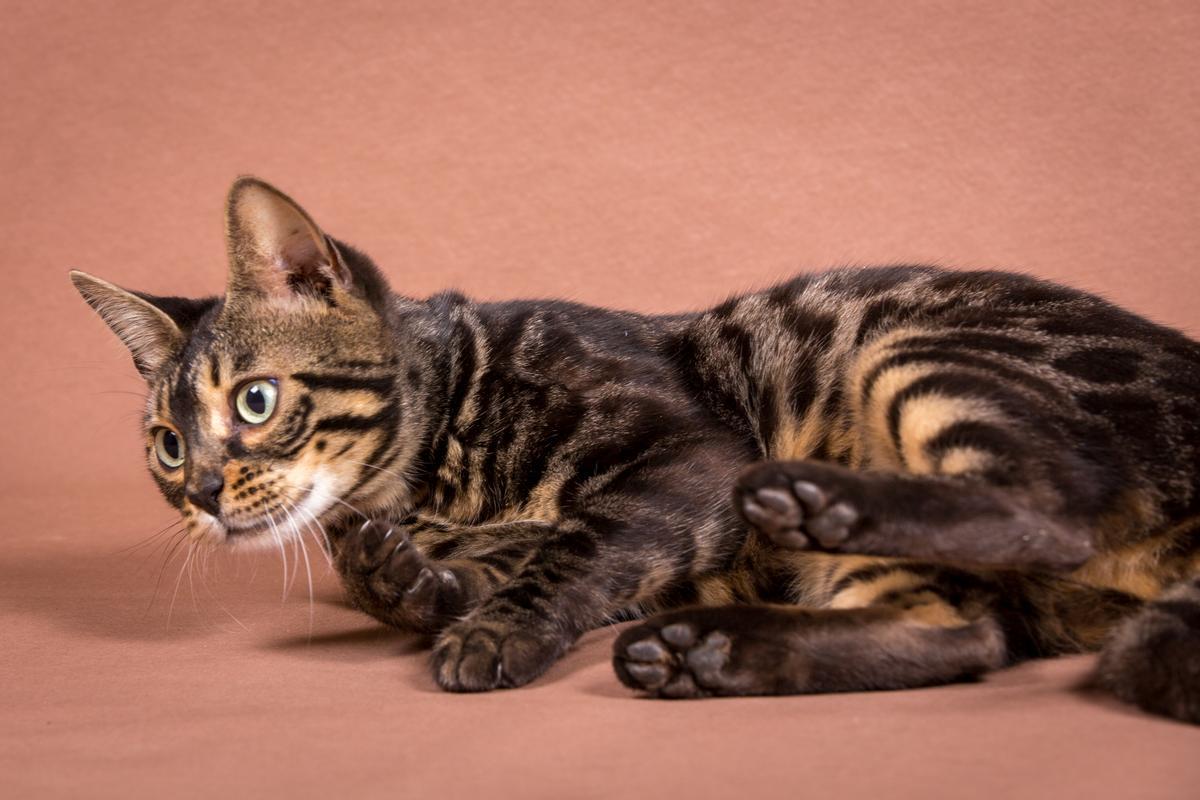 Malu-Bengals-Katze-Chilli-Wunderkittys_0005