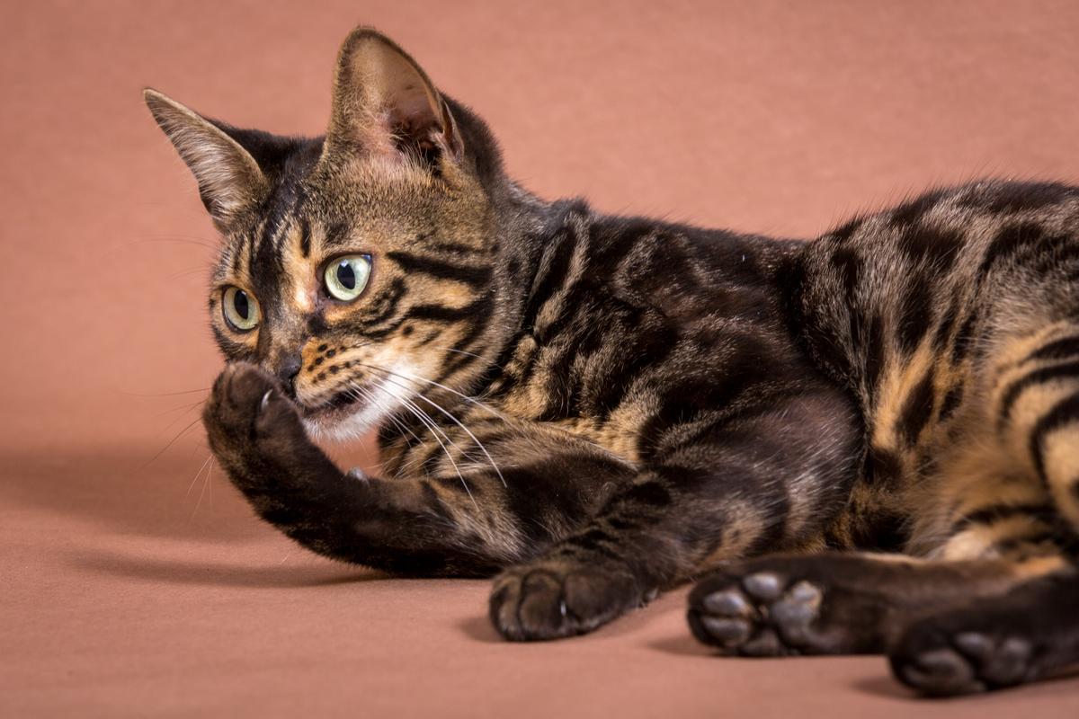 Malu-Bengals-Katze-Chilli-Wunderkittys_0006