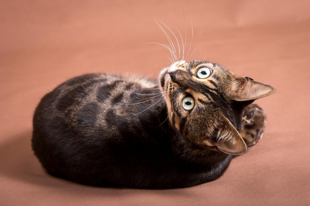 Malu-Bengals-Katze-Chilli-Wunderkittys_0007