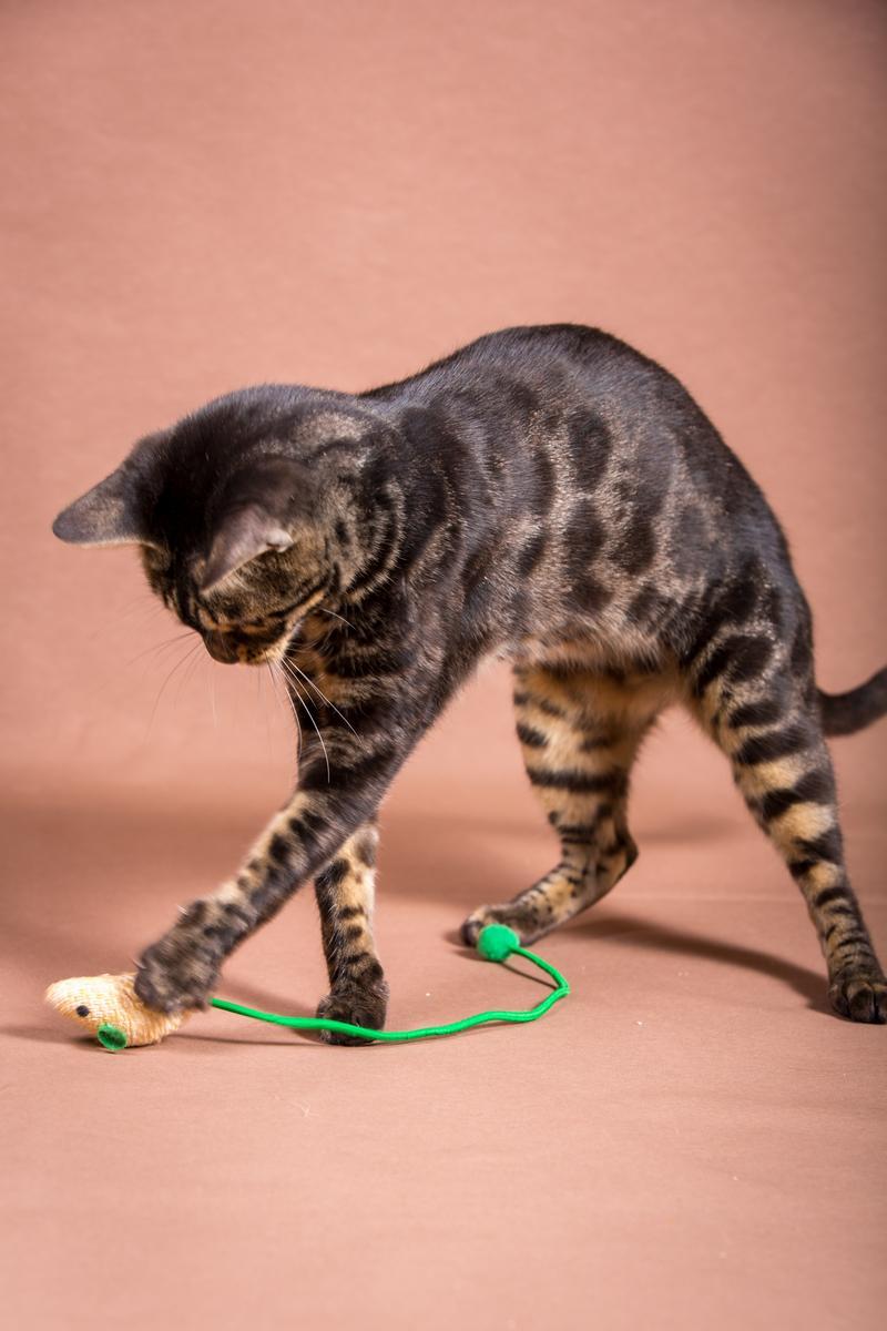 Malu-Bengals-Katze-Chilli-Wunderkittys_0009