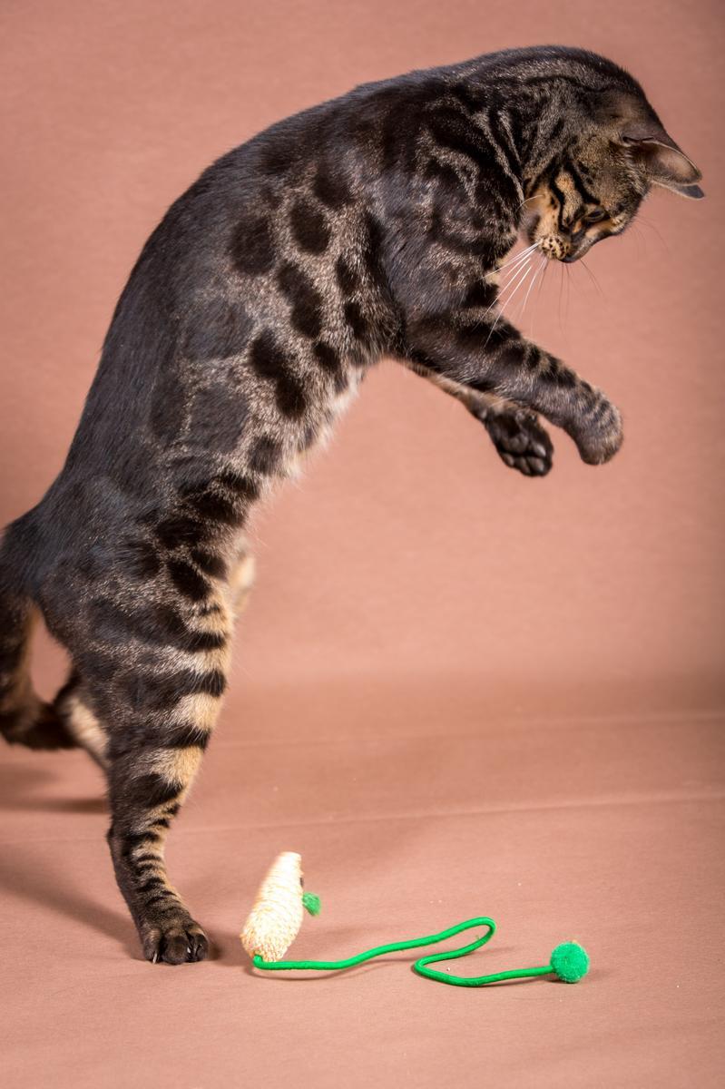 Malu-Bengals-Katze-Chilli-Wunderkittys_0010
