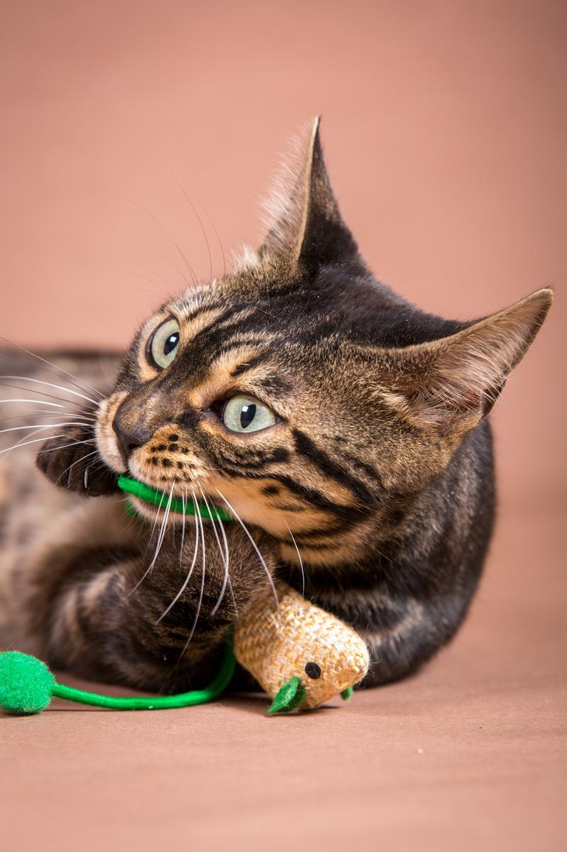 Malu-Bengals-Katze-Chilli-Wunderkittys_0011