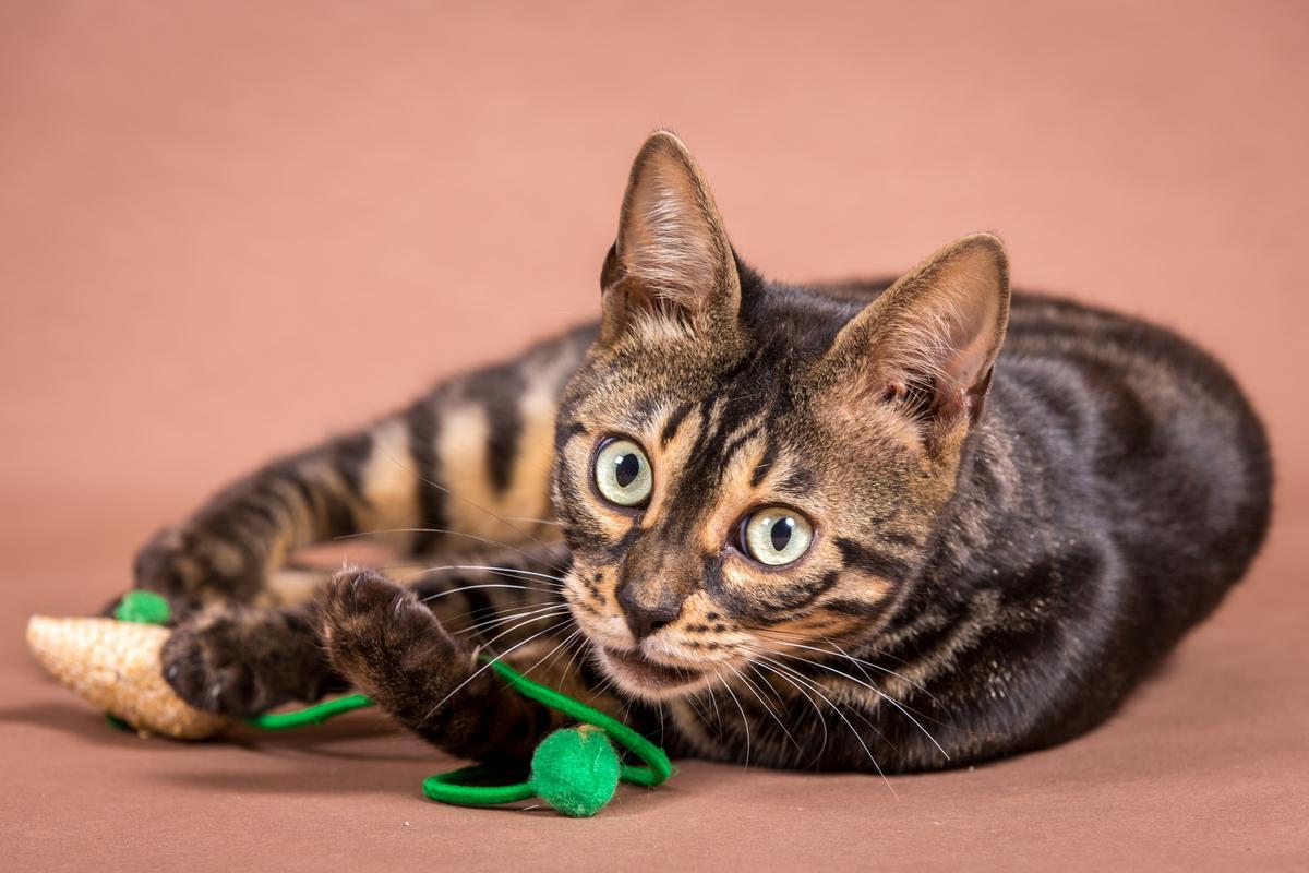 Malu-Bengals-Katze-Chilli-Wunderkittys_0012