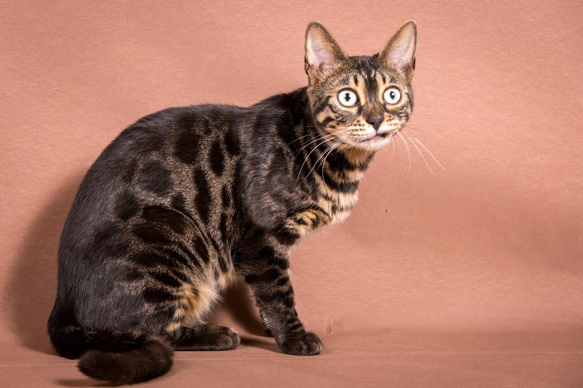 Malu-Bengals-Katze-Chilli-Wunderkittys_0015