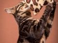 Malu-Bengals-Katze-Chilli-Wunderkittys_0001
