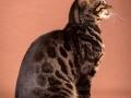 Malu-Bengals-Katze-Chilli-Wunderkittys_0002