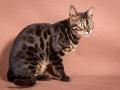 Malu-Bengals-Katze-Chilli-Wunderkittys_0014