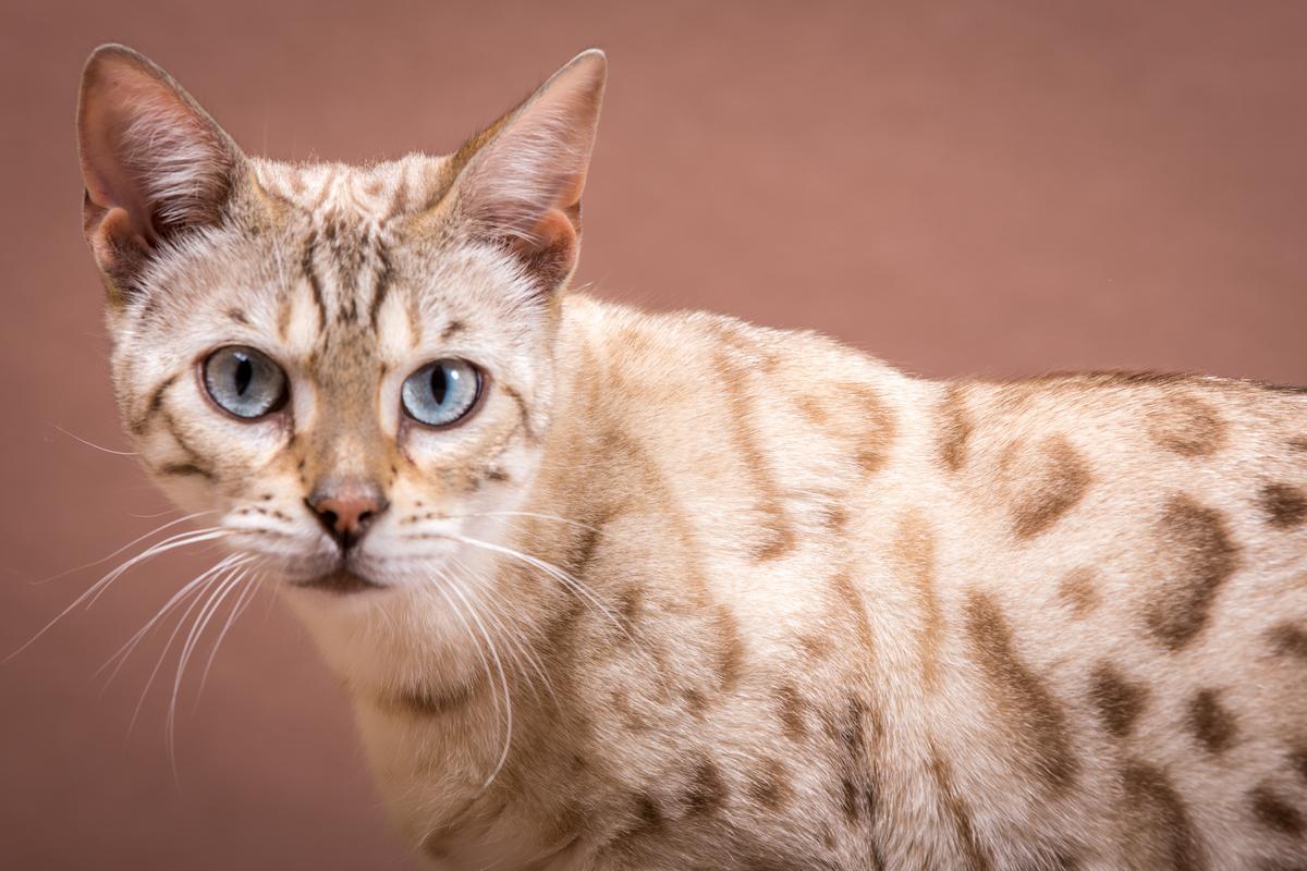 Malu-Bengals-Katze-Fina-of-Hand-Sonnenberg_0001