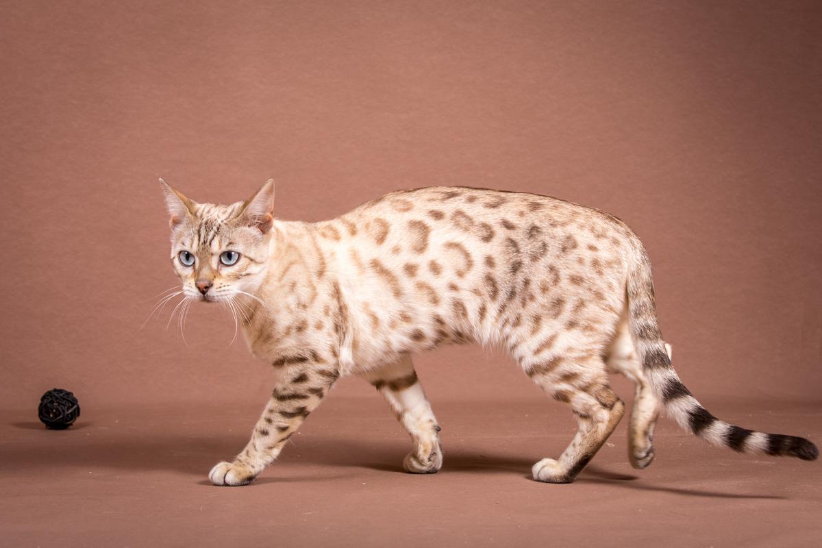 Malu-Bengals-Katze-Fina-of-Hand-Sonnenberg_0010