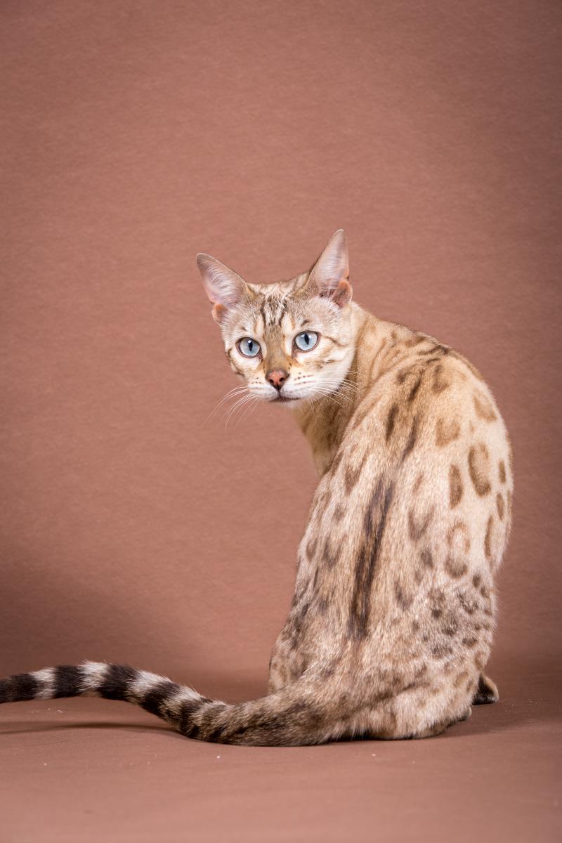 Malu-Bengals-Katze-Fina-of-Hand-Sonnenberg_0011