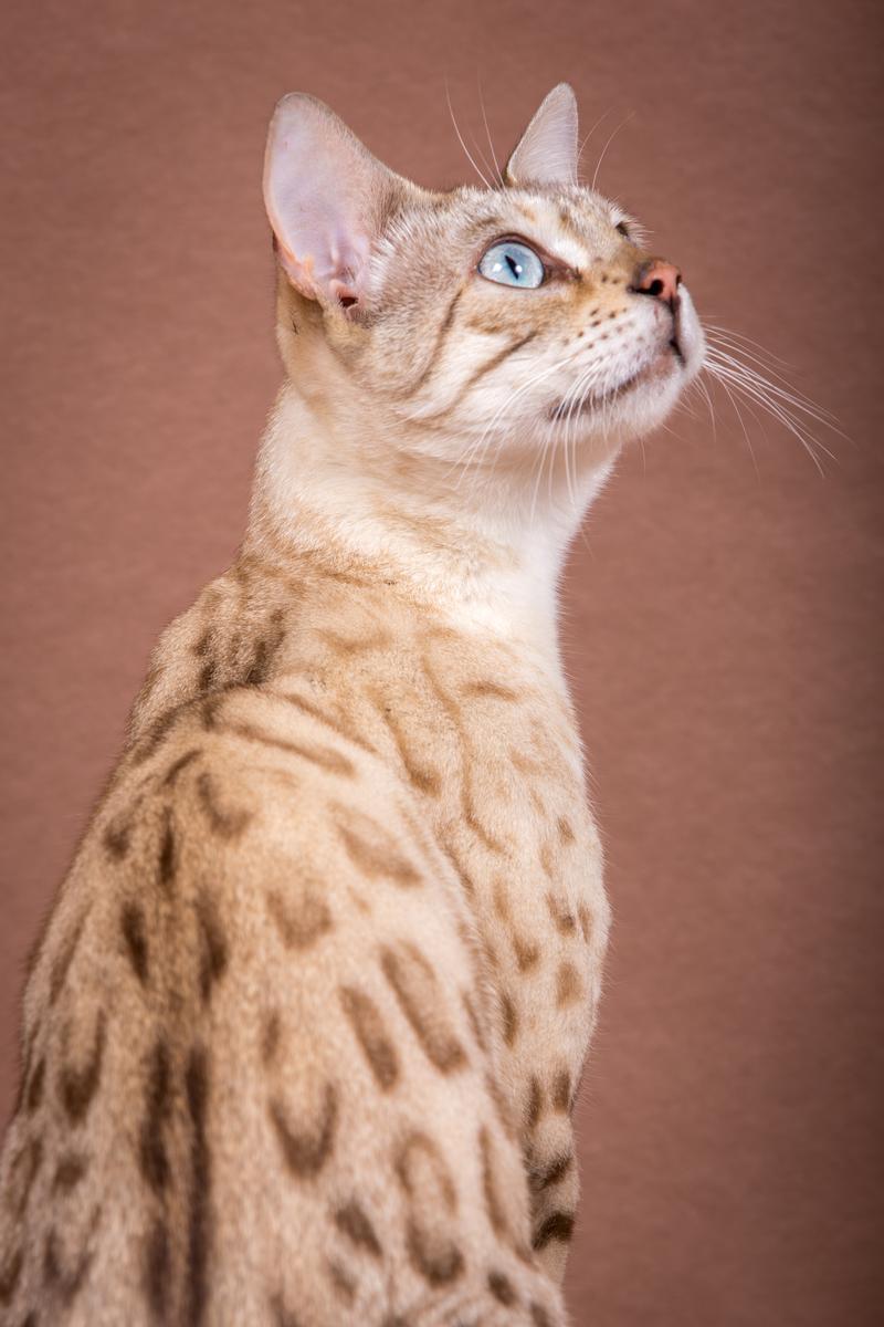 Malu-Bengals-Katze-Fina-of-Hand-Sonnenberg_0013