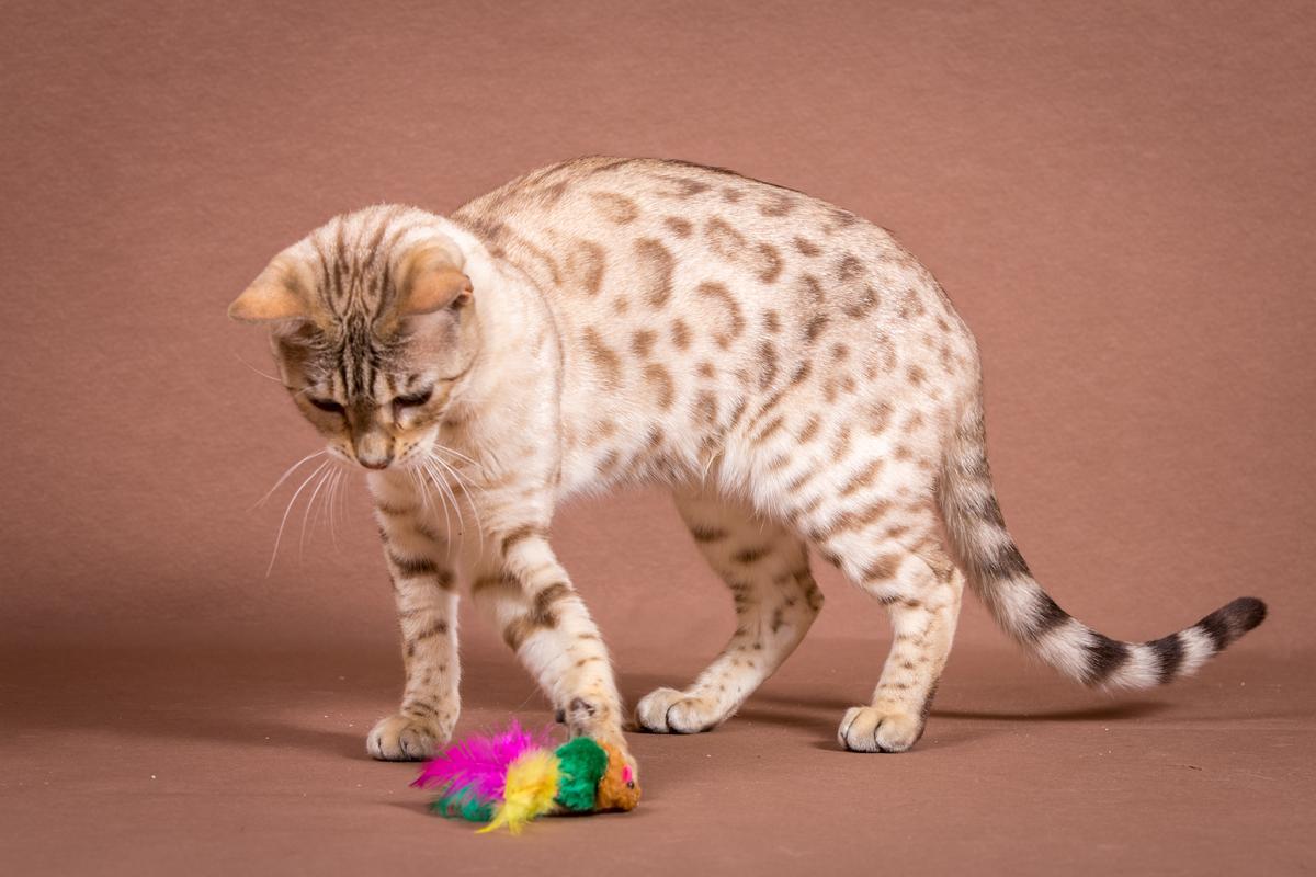 Malu-Bengals-Katze-Fina-of-Hand-Sonnenberg_0017