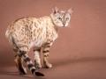 Malu-Bengals-Katze-Fina-of-Hand-Sonnenberg_0004