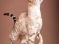 Malu-Bengals-Katze-Fina-of-Hand-Sonnenberg_0006
