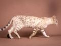 Malu-Bengals-Katze-Fina-of-Hand-Sonnenberg_0009