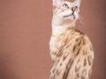 Malu-Bengals-Katze-Fina-of-Hand-Sonnenberg_0012