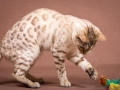 Malu-Bengals-Katze-Fina-of-Hand-Sonnenberg_0014