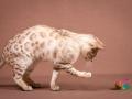 Malu-Bengals-Katze-Fina-of-Hand-Sonnenberg_0015