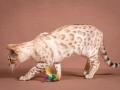 Malu-Bengals-Katze-Fina-of-Hand-Sonnenberg_0016