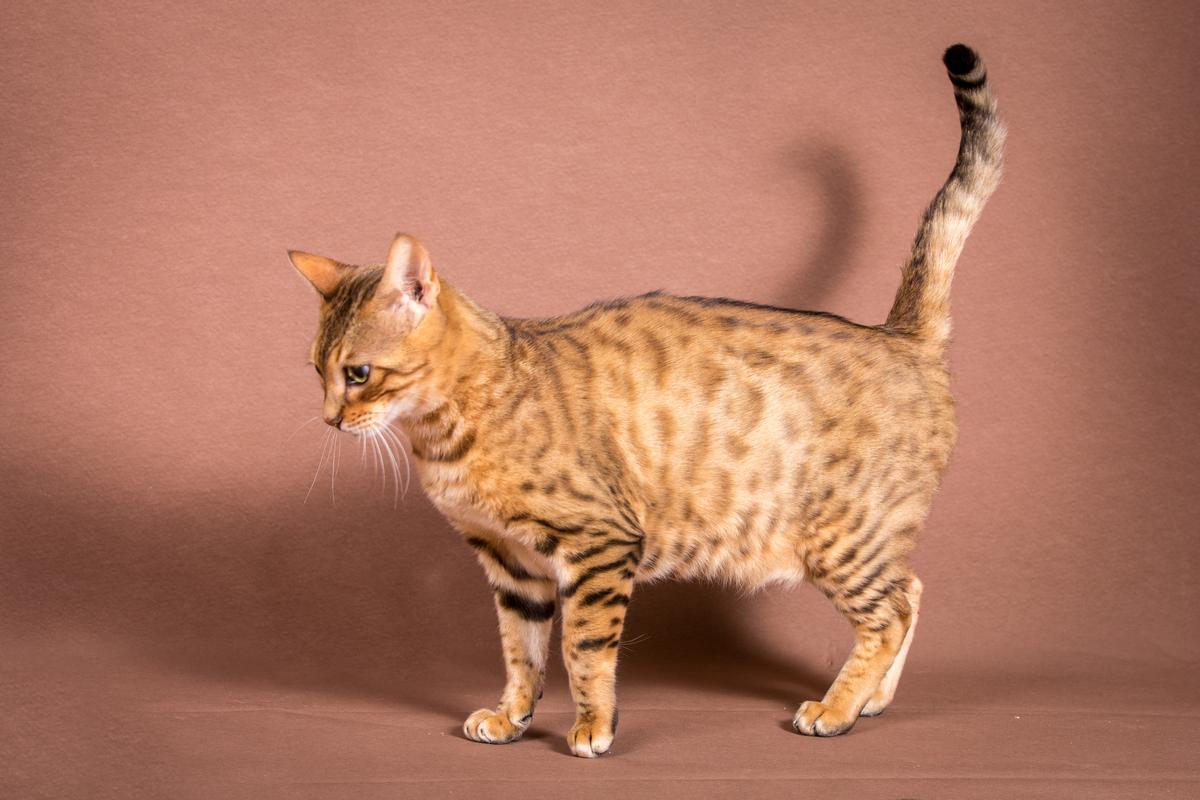 Malu-Bengals-Katze-Sally-Fleins-Wild_0001