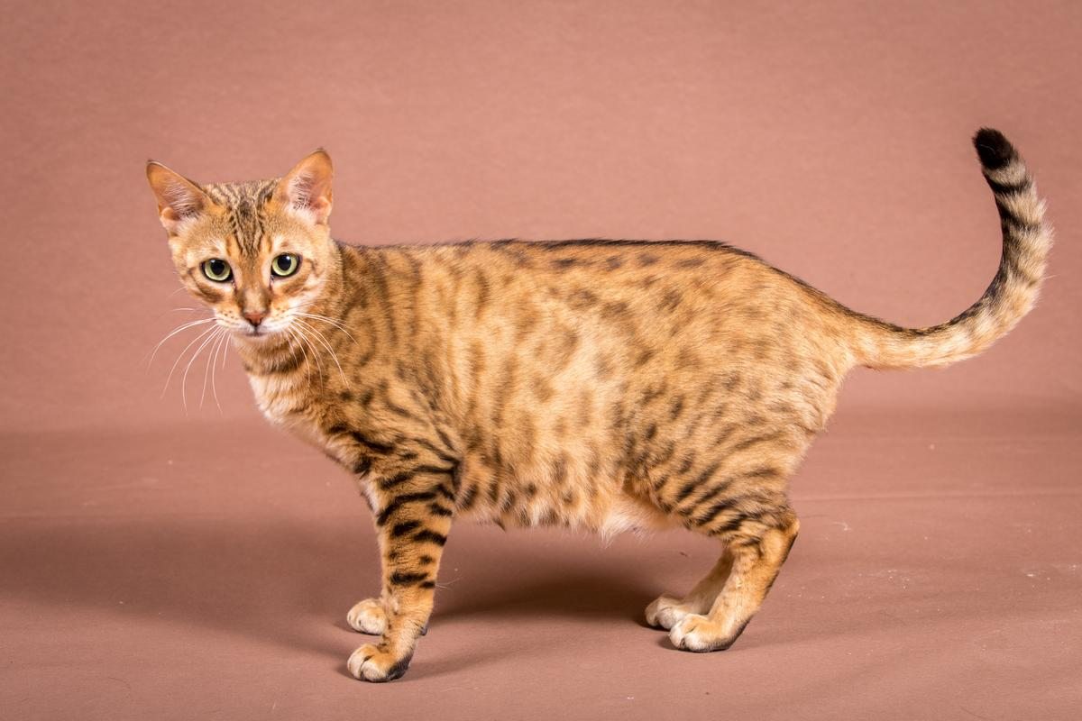 Malu-Bengals-Katze-Sally-Fleins-Wild_0005
