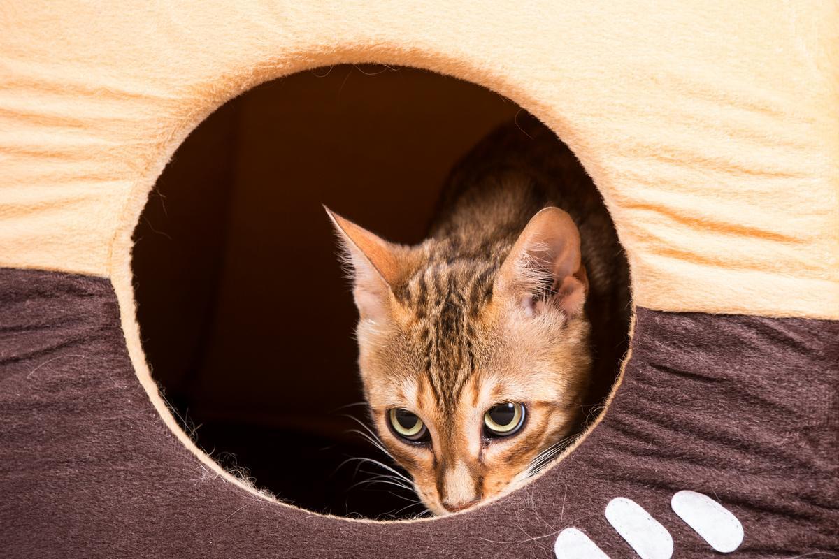 Malu-Bengals-Katze-Sally-Fleins-Wild_0006