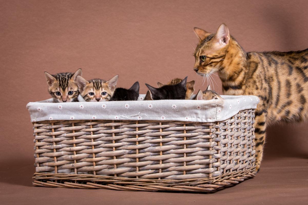 Malu-Bengals-Katze-Sally-Fleins-Wild_0009