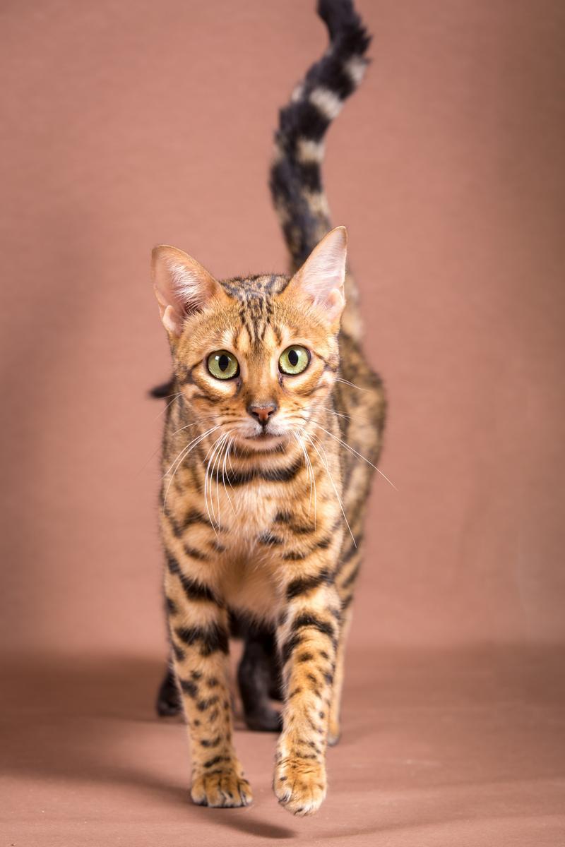 Malu-Bengals-Katze-Sally-Fleins-Wild_0010