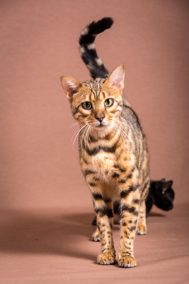 Malu-Bengals-Katze-Sally-Fleins-Wild_0011