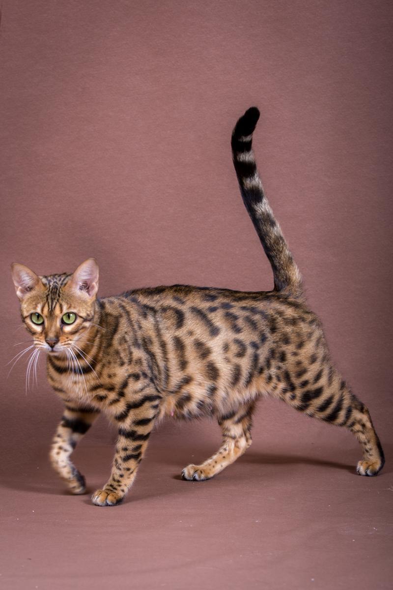 Malu-Bengals-Katze-Sally-Fleins-Wild_0014