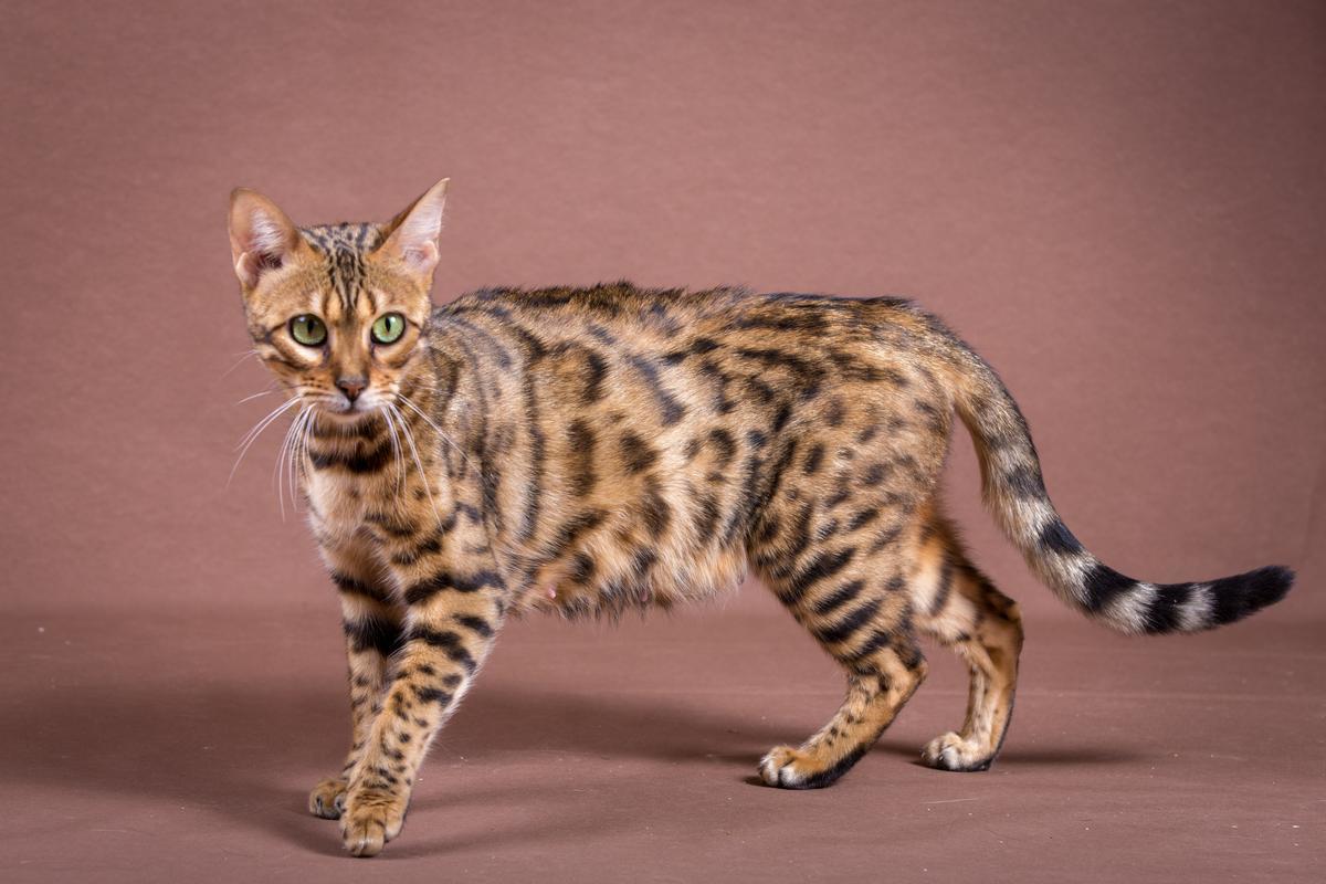 Malu-Bengals-Katze-Sally-Fleins-Wild_0015