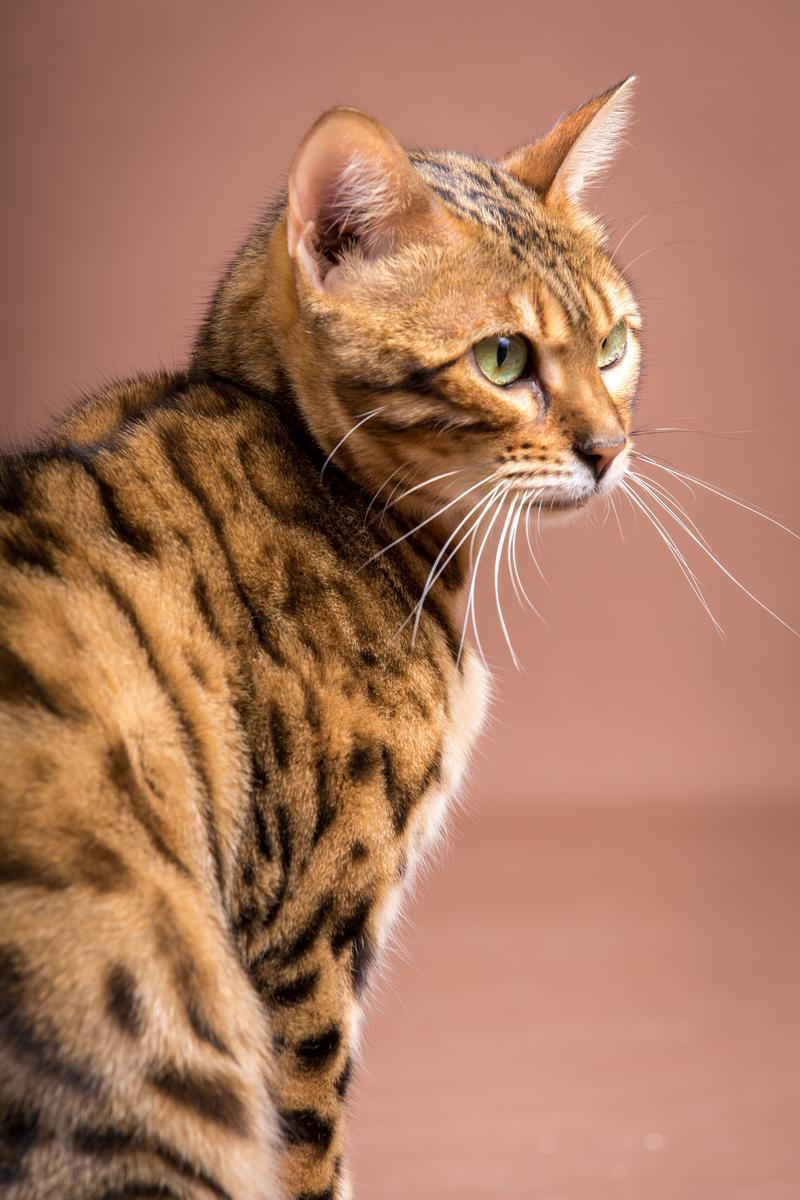 Malu-Bengals-Katze-Sally-Fleins-Wild_0021