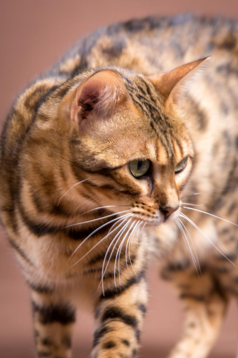 Malu-Bengals-Katze-Sally-Fleins-Wild_0023