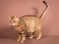 Malu-Bengals-Katze-Sally-Fleins-Wild_0002
