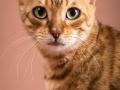Malu-Bengals-Katze-Sally-Fleins-Wild_0004