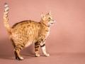 Malu-Bengals-Katze-Sally-Fleins-Wild_0008