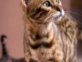 Malu-Bengals-Katze-Sally-Fleins-Wild_0012